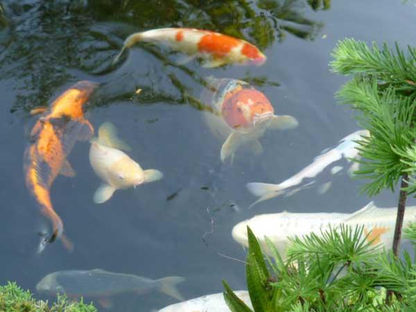 Japanse tuin vissen